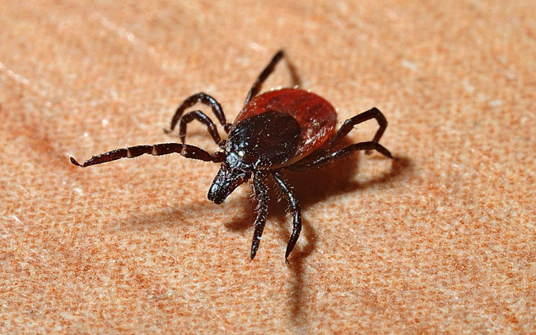 7 Surprising Things You Need to Know About Lyme Disease black legged tick yikes